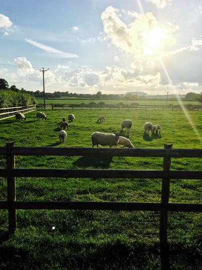 Sheep at Harbury Fields Caravan Site